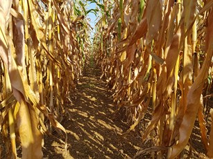 Ripened maize crops in the Chrono trial