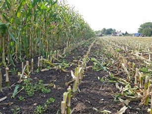 Chrono field trial harvest maize stalks and stubble